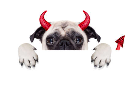 a placard: halloween devil pug dog  hiding behind white empty blank banner or placard or poster , isolated on white background