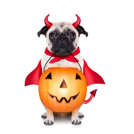 devil horns: halloween devil pug dog with trick or treat bowl, isolated on white background