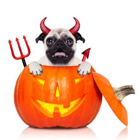 halloween devil pug dog inside pumpkin, scared and frightened, isolated on white background Stock Photo