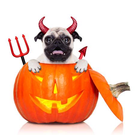 perro asustado: Halloween diablo pug perro dentro de la calabaza, asustado y asustado, aislado en fondo blanco Foto de archivo
