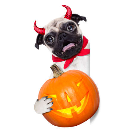 haunt: halloween devil pug dog  hiding behind white empty blank  banner or placard ,holding a pumpkin, isolated on white background Stock Photo