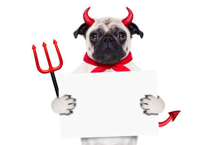 a placard: halloween devil pug dog  hiding behind white empty blank  blackboard or placard , isolated on white background