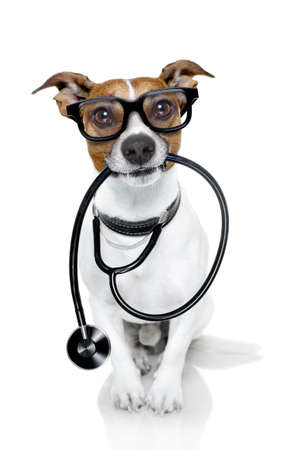 jack russell dog  as a medical veterinary doctor with stethoscope with glasses, isolated on white background Banco de Imagens