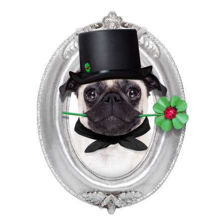 superstitions: pug dog as chimney sweeper with four leaf clover  inside a silver wall frame Stock Photo