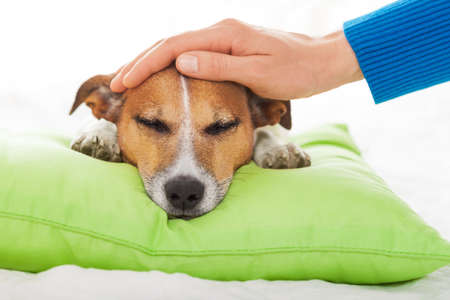 the sick: owner  petting his dog, while he is sleeping or resting  , feeling sick and ill with temperature, eyes closed
