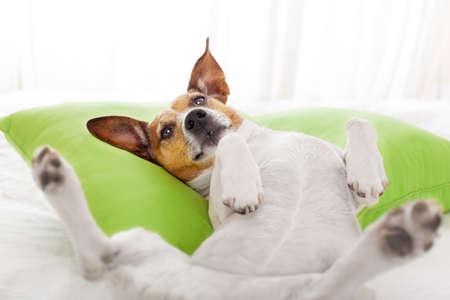 durmiendo: perro que tiene una siesta relajante, descansar o soñar despierto en el salón o el dormitorio, sobre una almohada Foto de archivo