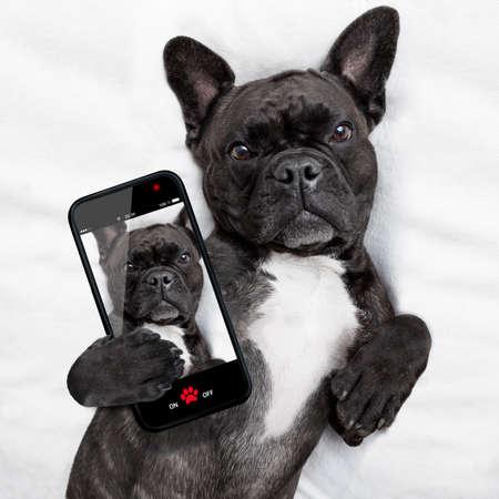 animals: francia bulldog kutyát fejfájással és másnapos alszik az ágyban, miközben egy selfie a barátok és megosztás Stock fotó
