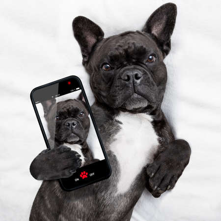 animals and pets: french bulldog dog  with  headache and hangover sleeping in bed, taking a selfie for friends and sharing