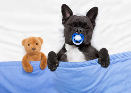 french bulldog dog  with  headache and hangover sleeping in bed like a baby with pacifier , teddy bear close together Stock Photo
