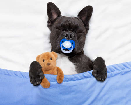 hangover: french bulldog dog  with  headache and hangover sleeping in bed like a baby with pacifier ,embracing  teddy bear close together Stock Photo