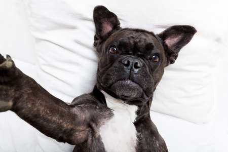 bulldog: french bulldog dog  with  headache and hangover sleeping in bed, taking a selfie for friends and sharing