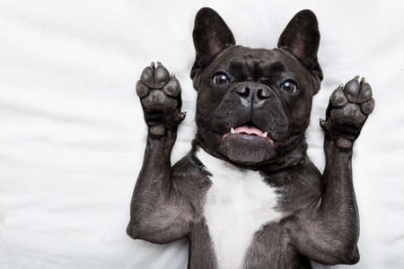 french bulldog dog  surprised , shocked and frightened, staring at you with arms in the air