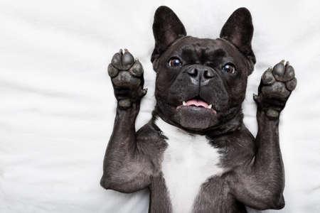 perro asustado: perro bulldog francés sorprendido, conmocionado y asustado, mirando a usted con los brazos en el aire
