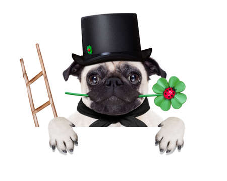 pug dog as chimney sweeper with four leaf clover  behind white banner or placard, celebrating and toasting for new years eve, isolated on white background Foto de archivo