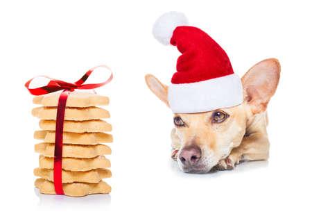 treats: perro chihuahua esperando y pidiendo dulces o galletas de navidad como presente o regalo, con sombrero de santa, aislado en fondo blanco