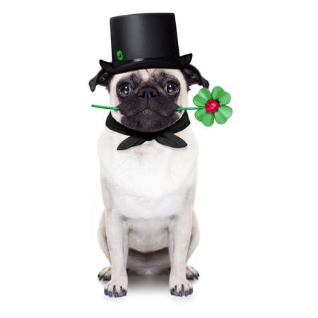 humour: pug dog as chimney sweeper with four leaf clover  ,toasting for new years eve, isolated on white background