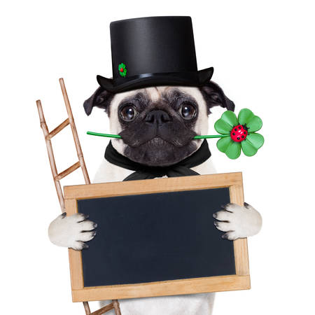pug dog as chimney sweeper with four leaf clover  behind blackboard or placard, celebrating and toasting for new years eve, isolated on white background