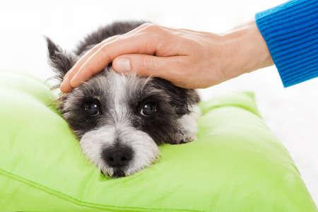 djur: ägaren klappar sin hund, medan han sover eller vilar, känner sig sjuk och sjuk med temperatur och feber, slutna ögon Stockfoto