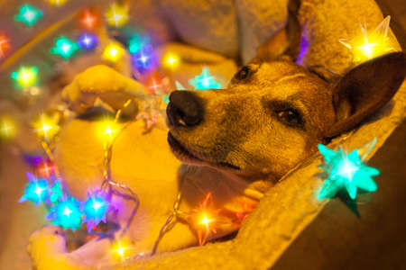 christmas candle: jack russell dog resting and enjoying this christmas holidays with fancy fairy lights and looking cute at you Stock Photo