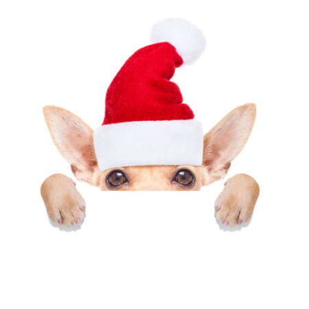 dog christmas: chihuahua santa claus dog hiding behind a blank empty placard or banner,  for christmas , isolated on white background Stock Photo