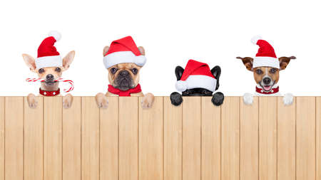 xmas: row and group of santa claus dogs, for christmas holidays, behind a wall, banner or placard, wearing a red hat  , isolated on white background
