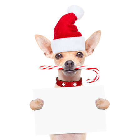 outerwear: chihuahua santa claus dog behind a blank empty placard or banner,  for christmas , isolated on white background