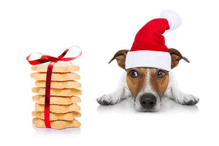 treats: Jack Russell perro esperando y pidiendo golosinas o galletas de navidad como presente o regalo, que lleva el sombrero de santa, aislado en el fondo blanco