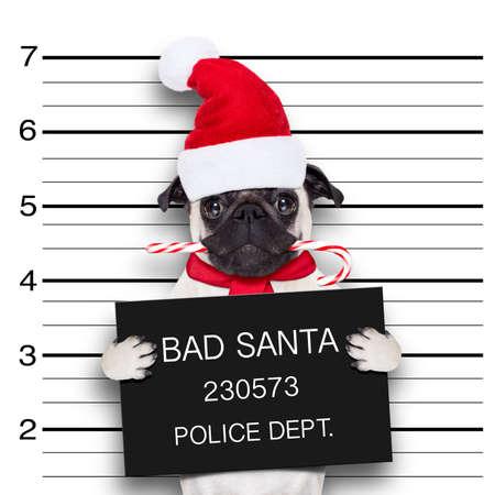 perro policia: perro pug como Santa Claus para las vacaciones de Navidad, atrapado en mugshot con la caña de azúcar en la boca Foto de archivo