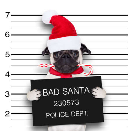 felony: pug dog as santa claus for christmas holidays, caught on mugshot with sugar cane in mouth Stock Photo