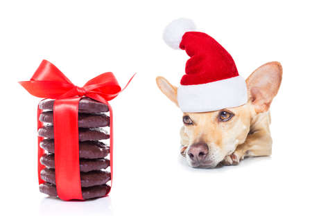 dog waiting: chihuahua dog waiting and begging for christmas treats or cookies as present or gift,wearing santa hat, isolated on white background