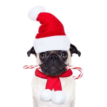 dog in costume: pug dog as santa claus with red hat, for christmas holidays, looking dumb, with a sugar candy cane in mouth, isolated on white background Stock Photo