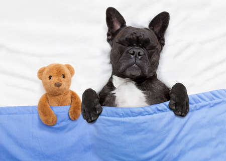 sick teddy bear: french bulldog dog  with  headache and hangover sleeping in bed, with teddy bear close together Stock Photo
