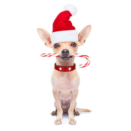 holiday pets: chihuahua santa claus dog with sugar candy cane in mouth, for christmas , isolated on white background