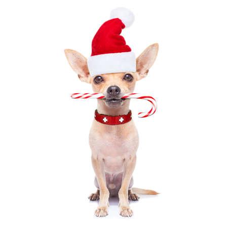 comida: dog noel chihuahua de Santa com bastão de doces de açúcar na boca, para o natal, isolado no fundo branco