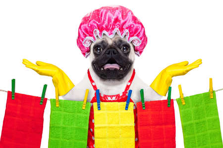 pug dog doing household chores with rubber gloves and shower cap, isolated on white background