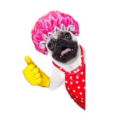 chores: pug dog doing household chores with rubber gloves and shower cap, isolated on white background