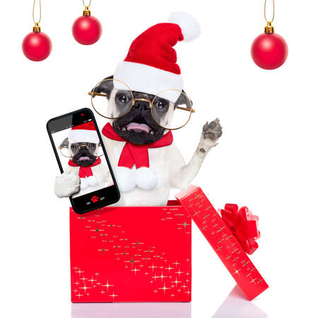 holiday celebration: pug dog as santa claus jumping out of a gift or present  box at christmas holidays, taking a selfie ,isolated on white background