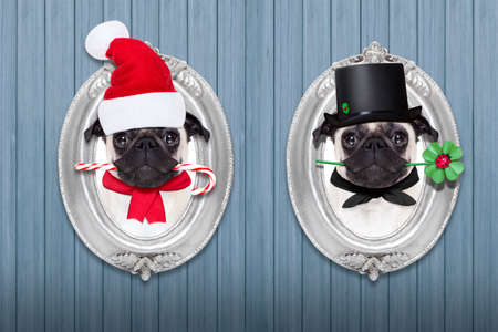 christmas funny: pug dog as santa claus with sugar candy cane for christmas holidays, and chimney sweeper for new years eve inside a frame on the wall