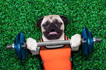 Mops Hund tun und die Ausübung der Sportart mit Hantelstange im Park Wiese liegend auf Gras, sehr bemüht