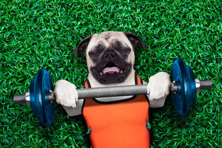 funny animals: pug dog doing and exercising sport with Dumbbell bar in the park meadow lying on grass, trying very hard
