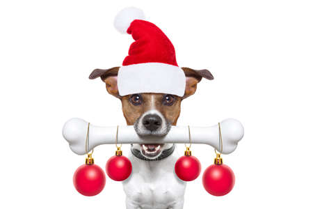 christmas santa claus dog holding a big bone with mouth decoration xmas balls hanging, isolated on white background