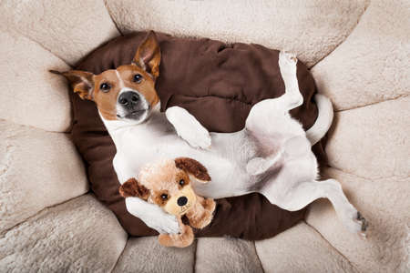animals together: jack russell terrier dog resting  having  a siesta upside down on his bed with his teddy bear,   tired and sleepy