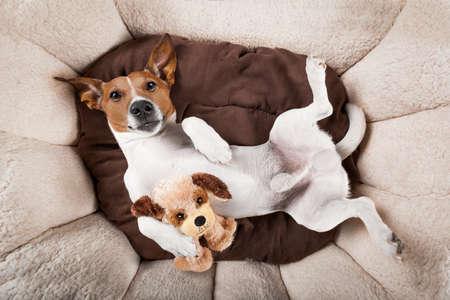 Jack Russell terrier perro de descanso que tienen una siesta boca abajo en su cama con su oso de peluche, cansancio y sueño Foto de archivo - 48486217