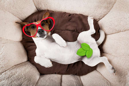 jack russell terrier dog resting  upside down on his bed with red sunglasses , tired and sleepy