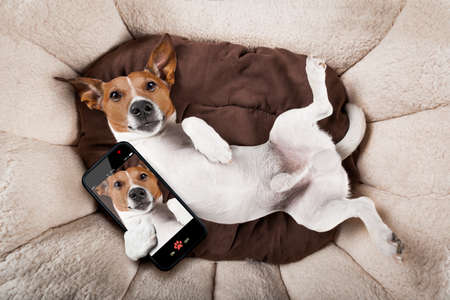 jack russell terrier dog resting  upside down on his bed taking a selfie with smartphone,  tired and sleepy