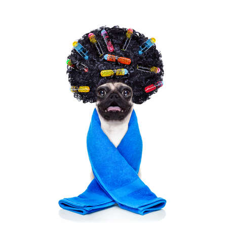 tinte cabello: pug dog  with hair rulers  afro curly wig  hair at the hairdresser with blue towel , isolated on white background Foto de archivo