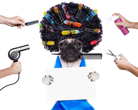 groomer: pug dog  with hair rulers  and afro curly wig  hair at the hairdresser , holding a blank empty placard or banner, isolated on white background