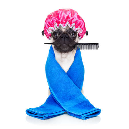 groomer: pug dog ready to have a bath or a shower wearing a bathing cap and towel, isolated on white background holding a hair comb with mouth Stock Photo