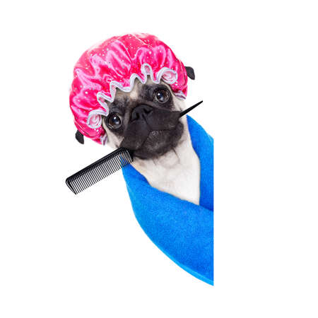 grooming: pug dog ready to have a bath or a shower wearing a bathing cap and towel, isolated on white background, behind an empty blank placard or banner Stock Photo