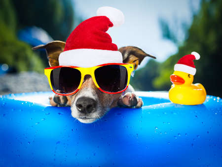 swimming: jack russell dog at the the beach in water wearing a santa claus hat at christmas holidays